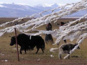 Ercun_Tibet_Yak